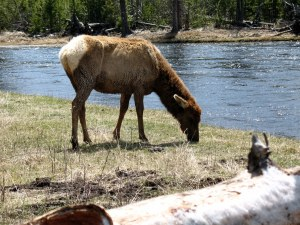 My camera was zoomed in. We didn't dare get any closer to this elk but stayed on the other side of the log.