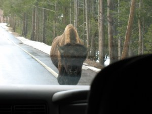 Yes, that buffalo is heading straight for our car.